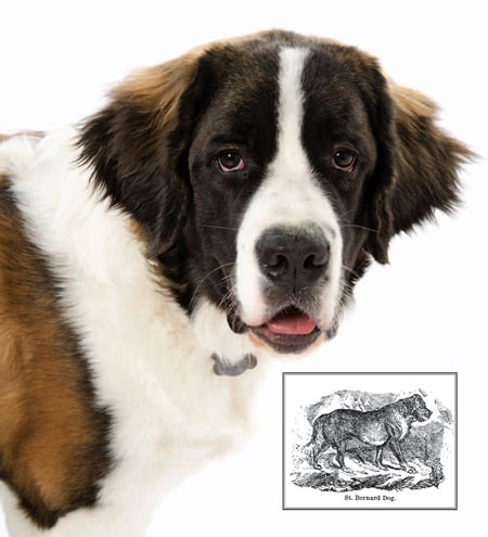 Saint Bernard current and past