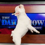Daily Show - White French Bull Dog