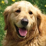 UC Davis studies health conditions in Golden Retrievers
