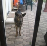 Dog stands outside of glass sliding door