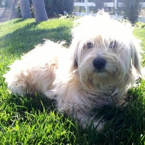Lhasa Apso Bichon mixed breed dog